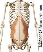 the transversus abdomini