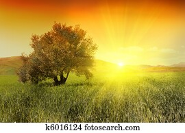 Sunrise and olive tree