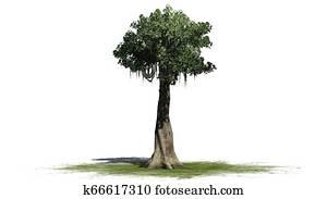 Kapok Tree Images Our Top 404 Kapok Tree Stock Photos Fotosearch