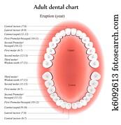 Adult dental chart