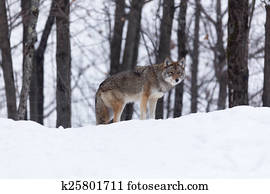 Coyote in a winter scene