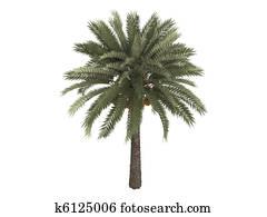 Date palm or Phoenix dactylifera