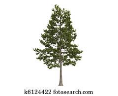 Loblolly pine or Pinus taeda