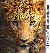 Leopard portrait