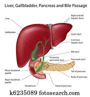 Bile passges, labeled