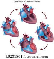 Heart valves operation