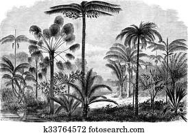 Palm of the Ucayali Amazon, vintage engraving.