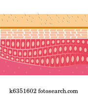 skin cross-section anatomy vector