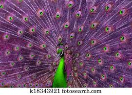 A green and purple peacock.