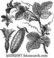 Cucumber or Cucumis sativus vintage engraving
