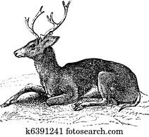 Mule deer or Odocoileus hemionus vintage engraving