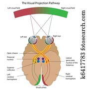 The visual projection pathway, eps8