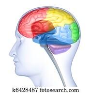 Brain lobes in head silhouette