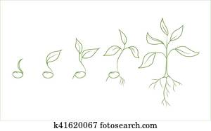 Kidney bean plant growth phases