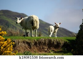 Sheep with lamb on pasture in Scotland