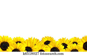 Row of Perfect Fresh Sunflowers Isolated on White