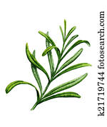 Sprig of rosemary. Watercolor illustration