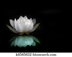 water lily reflected in water