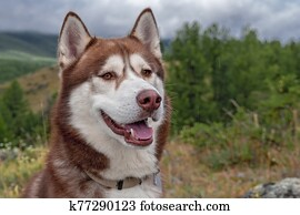 Brown smiling husky dog on cloudy background of wooded mountains.