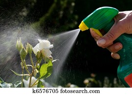 Pest control. Roses in the garden