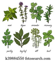 Set of rosemary, mint, thyme, coriander, parsley, basil, dill herbs
