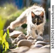 maine coon kitten roaming in suny garden