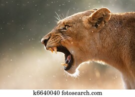 Lioness displaing dangerous teeth