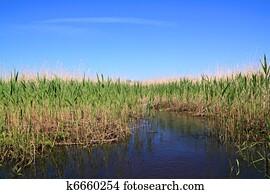 high dry reed in marsh