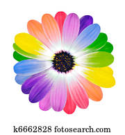 Rainbow Multi Colored Petals of Daisy Flower