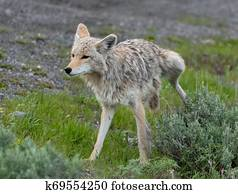 Coyote Urinates on Green Bush