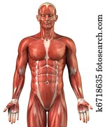 Man muscular system anatomy anterior view