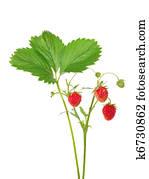 Strawberries on branch