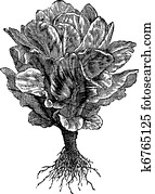 Romaine or Cos lettuce (Lactuca sativa) vintage engraving