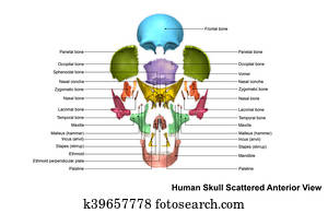 Skull Scattered Anterior view