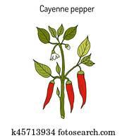 Chilli pepper Capsicum annuum