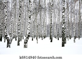 Winter birch grove