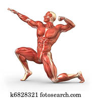Man muscular system anatomy