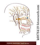 Teeth nerves