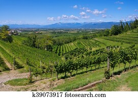 Friaul vineyards