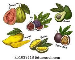 Fig and guava, avocado and mango, maracuya sketches