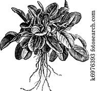 Garden sorrel or Rumex acetosa or Common Sorrel. Variety called Belleville, vintage engraving