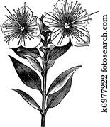 myrte, oder, Myrtus, communis, altmodisch, graviert, abbildung