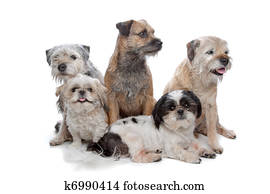 Stock Photo Of Mix Tibetan Terrier Shih Tzu K5118794 Search Stock