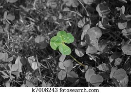 Real 4-Leaved Clover Growing On Meadow