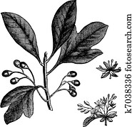 Sassafras or Sassafras albidum vintage engraving