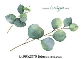 aquarell, vektor, hand, malen, satz, mit, eukalyptus, bl?tter, und, branches.