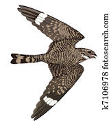 Lesser Nighthawk in flight