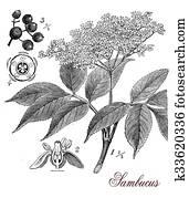 Sambucus, botanical vintage engraving