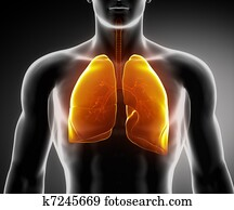 Human respiratory system with lungs and bronchial tree
