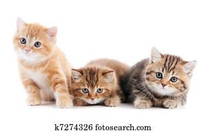 little british shorthair kittens cat
